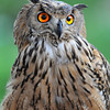 the Eagle Owl (bubo bubo)  with a penetrating stare