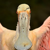 The intense regard of a roseate spoonbill performing a display for the camera