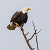 Bald Eagle in Garry Point Park.