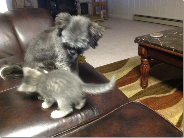 Trying to play with Scruffy.  Scruffy has been very cautious and is starting to play more.