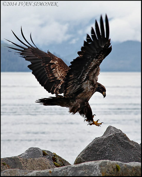 """PINPOINT LANDING"",an immature Bald eagle,Wrangell,Alaska,USA."