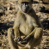 Yellow baboon, (Papio cynocephalus)