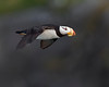"This photograph of flying Horned Puffin was captured in Lake Clark National Park, Alaska (8/14). <FONT COLOR=""RED""><h5>This photograph is protected by the U.S. Copyright Laws and shall not to be downloaded or reproduced by any means without the formal written permission of Ken Conger Photography.<FONT COLOR=""RED""></h5>"