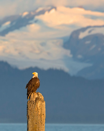 "This photograph of perched Bald Eagle was captured in Homer, Alaska (8/14). <FONT COLOR=""RED""><h5>This photograph is protected by the U.S. Copyright Laws and shall not to be downloaded or reproduced by any means without the formal written permission of Ken Conger Photography.<FONT COLOR=""RED""></h5>"