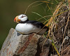 "This photograph of perched Horned Puffin was captured in Lake Clark National Park, Alaska (8/14). <FONT COLOR=""RED""><h5>This photograph is protected by the U.S. Copyright Laws and shall not to be downloaded or reproduced by any means without the formal written permission of Ken Conger Photography.<FONT COLOR=""RED""></h5>"