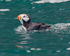 "This photograph of Horned Puffin was captured in Kenai Fjords National Park, Alaska (8/14). <FONT COLOR=""RED""><h5>This photograph is protected by the U.S. Copyright Laws and shall not to be downloaded or reproduced by any means without the formal written permission of Ken Conger Photography.<FONT COLOR=""RED""></h5>"