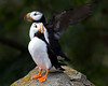 "This photograph of Horned Puffins was captured in Lake Clark National Park, Alaska (8/14). <FONT COLOR=""RED""><h5>This photograph is protected by the U.S. Copyright Laws and shall not to be downloaded or reproduced by any means without the formal written permission of Ken Conger Photography.<FONT COLOR=""RED""></h5>"