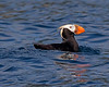 "This photograph of Tufted Puffin was captured in Kenai Fjords National Park, Alaska (8/14). <FONT COLOR=""RED""><h5>This photograph is protected by the U.S. Copyright Laws and shall not to be downloaded or reproduced by any means without the formal written permission of Ken Conger Photography.<FONT COLOR=""RED""></h5>"