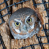 Elf Owl, the smallest owl in the world, weighing only a little over an ounce.