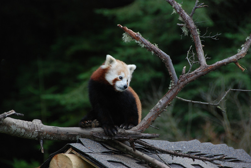 "José Quezada/For the Times-Standard<br /> <br /> A Red panda made an appearance for zoo celebrants as the sun began to set and the fun began to peak.<br /> <br /> Zoo supporters got wild with the animals during the fourth annual ""Zootini"" gala hosted by the Sequoia Park Zoo Foundation on Saturday night. More than drinks got jiggy as folks interacted with zoo animals while sipping on their favorite martini specialty.  A silent and bidding auction was led by Rex Bohn, help raise funds to benefit the zoo's education program."