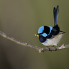 Male Superb Fairy-wren, Gold Coast, Queensland.