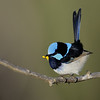 Superb Fairy-wren male, Gold Coast, Queensland.
