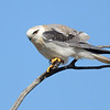 Australian Black-shouldered Kite (Elanus axillaris), Spit, Gold Coast, Queensland.