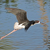 Black-necked stilt near Ko'Olina, Hawaii