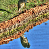 Night heron and reflection