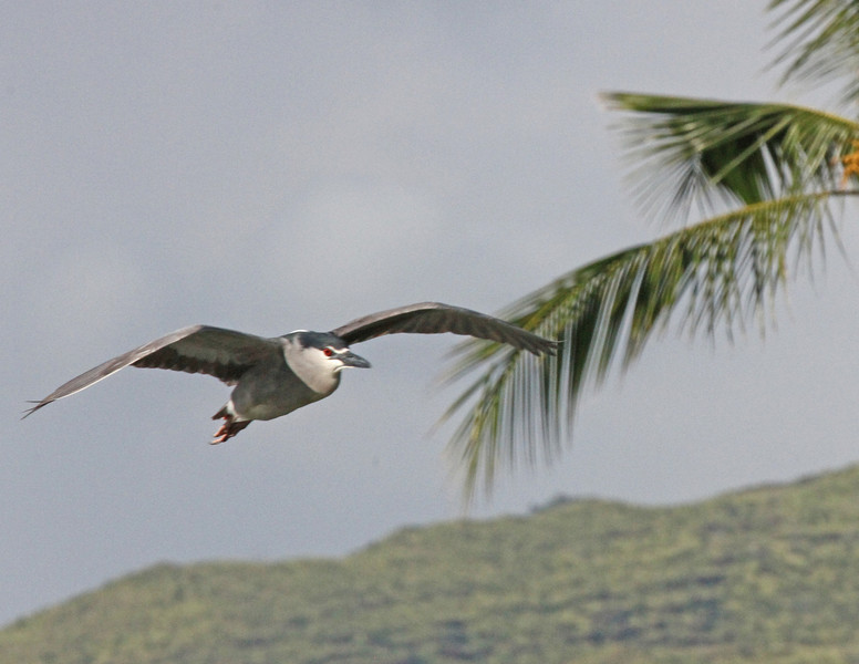 Night heron in flight near Ko'Olina