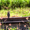 I've been working on the railroad - House sparrow near Ko'Olina area of Oahu, Hawaii