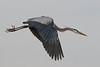 Great Blue Heron Over Viera Wetlands #3 1/14.