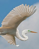Great Egret Over Alligator Farm #2 04/14