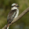 Laughing Kookaburra, Federation Walk Nature Reserve birds