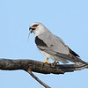 Black-shouldered Kite, Federation Walk Coastal Reserve.