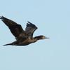 Little Black Cormorant (Phalacrocorax sulcirostris), The Broadwater, Gold Coast, Queensland.