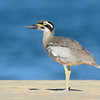 Beach Stone-curlew (Esacus magnirostris), Broadwater, Gold Coast, Queensland, Australia.