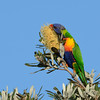 Rainbow Lorikeet, Federation Walk Coastal Reserve