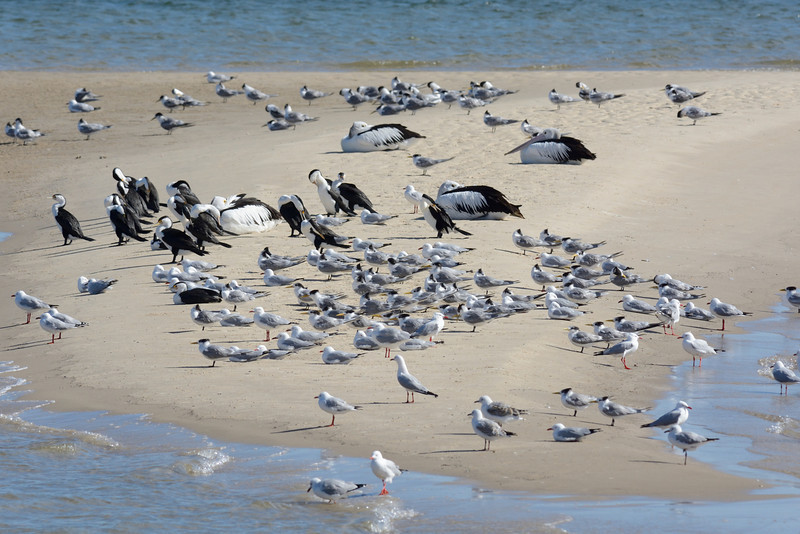 Terns, Broadwater, Gold Coast.
