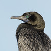 Cormorant, The Broadwater, Gold coast.