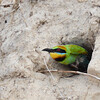 Rainbow Bee-eater, coming out of nesting burrow at speed, Seven Mile Beach, New South Wales.