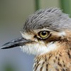 Bush Stone-curlew ( Burhinus grallarius), Federation Walk, Gold Coast, Queensland, Australia.