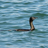Cormorant, Broadwater, Gold Coast.