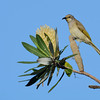 Brown Honeyeater (Lichmera indistincta), Federation Walk Coastal Reserve