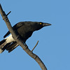 Pied Currawong. Federation Walk Nature Reserve birds