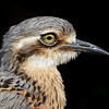 Bush Stone-curlew, Federation Walk Coastal Reserve