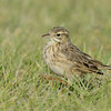 Australasian Pipit (Anthus novaeseelandiae), TheSpit, Gold Coast, Queensland.