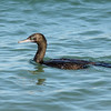 Cormorant, Broadwater, Gold Coast, Queensland.