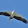 White-bellied Sea Eagle (Haliaeetus leucogaster), The Broadwater, Gold Coast, Queensland.