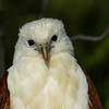 Brahminy Kite (Haliastur indus), The Spit, Gold Coast, Queensland.