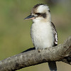 Laughing Kookaburra (Dacelo novaeguineae), Federation Walk Coastal Reserve, Gold Coast, Queensland.
