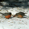 Fat robins