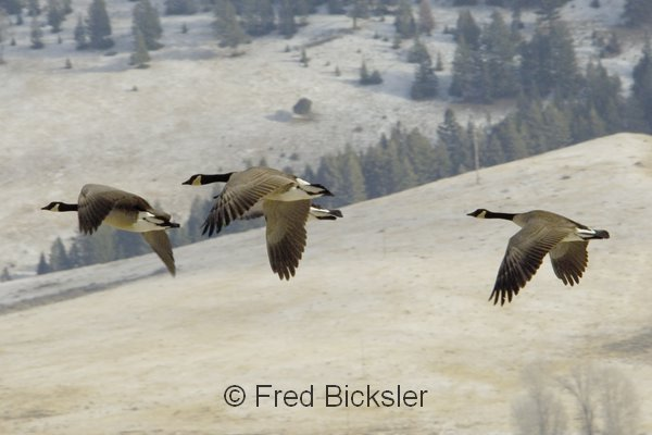 CANADA GEESE 29 Geese flying at the Elk Refuge north of Jackson, WY