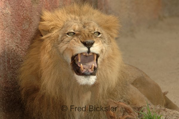 CATS 30<br /> Lion at the LA Zoo