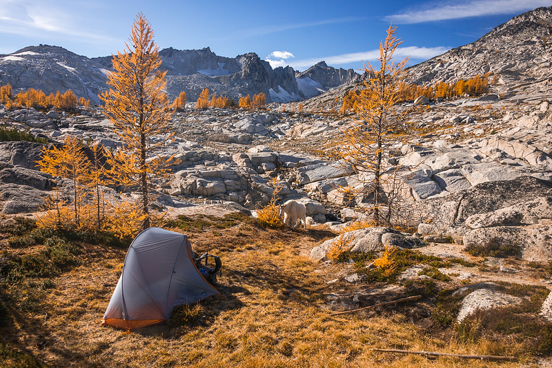 A Goat Checking Out my Tent in the Enchantments of Washington State