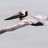 Brown Pelican, Galveston, TX, March 2013