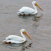 American White Pelican, Galveston, TX, March 2013