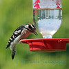 May 24.  This male Downy Woodpecker typically feeds from a suet block so when I saw him on my hummingbird feeder sipping for a while,  I ran for the camera.  I had to shoot through the glass so not as clear as I'd like, but had to capture what seemed to be quite an odd moment.