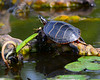 071914<br /> Trap Pond Turtle<br /> Laurel, Delaware