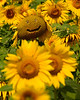 082114<br /> Flower Girl<br /> Jarrettsville Pike Sunflower Field<br /> Jacksonville, Maryland